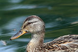 profile of a female mallard duck