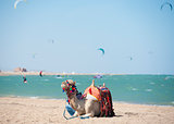 Camel on a beach with kite surfers