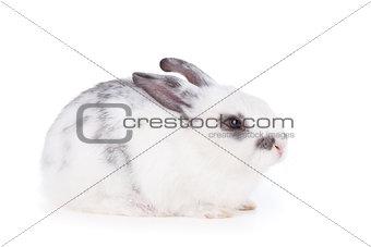 Small rabbit