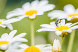 White daisy or Leucanthemum vulgare