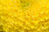 Marigolds or Tagetes erecta flower and water drops
