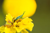 Marigolds or Tagetes erecta flower and grasshopper