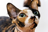 Rear sphinx cat with different colors skin