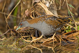 Baillon's Crake Walking