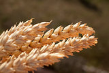 sheaf of wheat under the sun