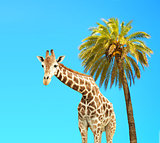 Coconut palm and giraffe