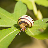 Snail on green fig leaf