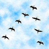 Cormorant flyover