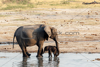 African elephants with baby elephant drinking at waterhole
