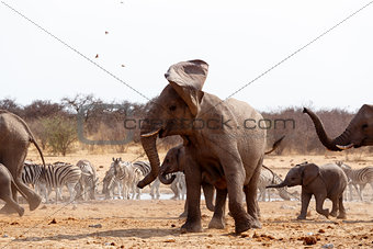 Angry Elephant in front of heard