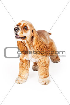 Active Cocker Spaniel