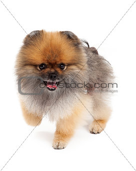 Active Pomeranian Dog Walking
