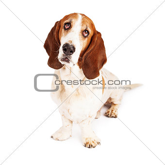 Adorab;e Basset Hound With Sad Eyes
