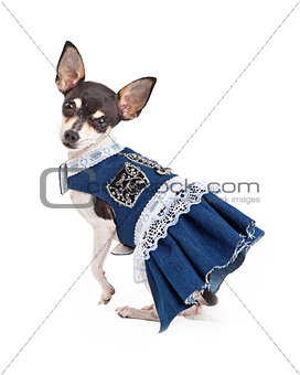 Adorable Chihuahua Dog in Blue Dress With White Lace