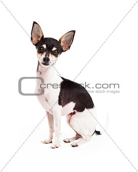 Adorable Chihuahua Dog Sitting