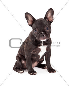 Adorable French Bulldog Sitting