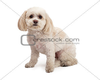 Adorable Maltese And Poodle Mix Breed Dog Sitting
