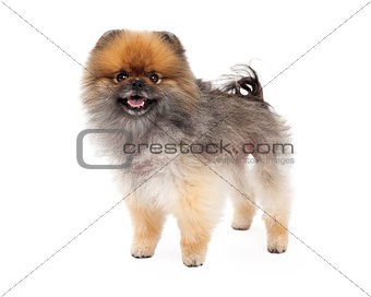 Adorable Pomeranian Dog Standing