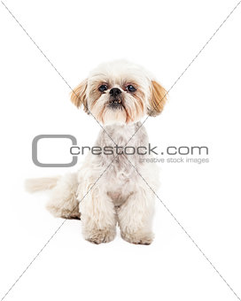 Adorable Poodle and Maltese Mix Breed Dog Sitting