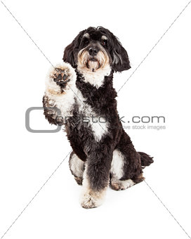 Adorable Poodle Mix Breed Dog Extending Paw