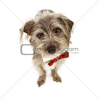 Adorable Small Terrier Wearing Bow Tie