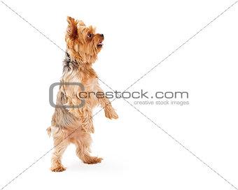 Adorable Yorkshire Terrier Puppy Dancing