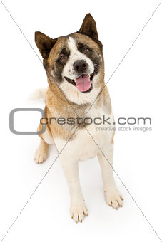 Akita Dog Sitting and Looking Forward
