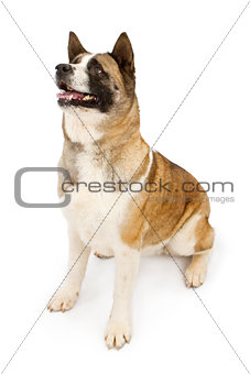 Akita dog looking to the side