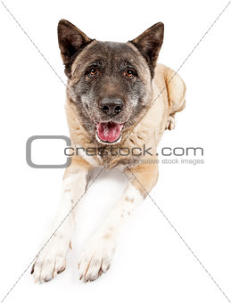 Akita Dog Laying Down Isolated on White