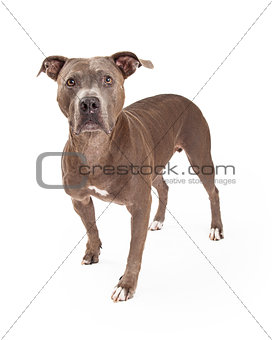 Alert American Staffordshire Terrier Dog Standing
