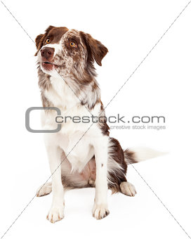 Alert And Curious Border Collie Dog Sitting