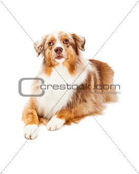 Alert Australian Shepherd Dog Laying