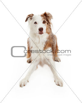 Alert Border Collie Dog Laying