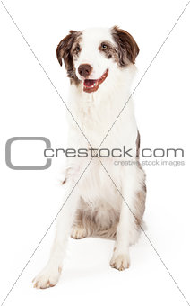 Alert Border Collie Dog Sitting