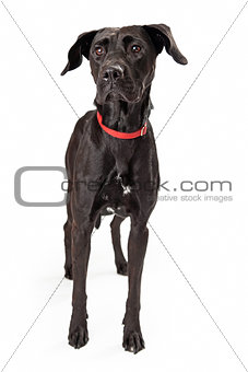 Alert Young Black Labrador Retriever Dog Standing