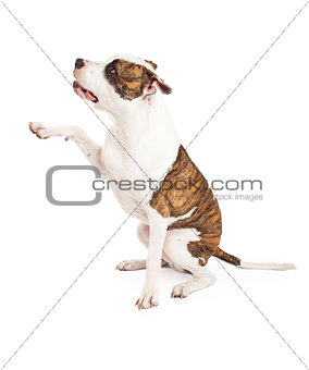 American Staffordshire Terrier Dog and Paw Shake