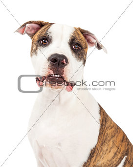 American Staffordshire Terrier Dog Head Shot