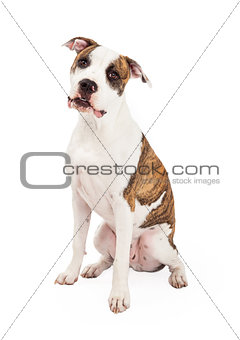 American Staffordshire Terrier Dog Sitting