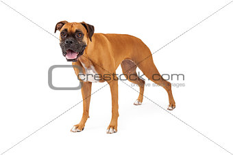 An Attentive Boxer Dog Standing