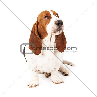 Angry Basset Hound Scowling