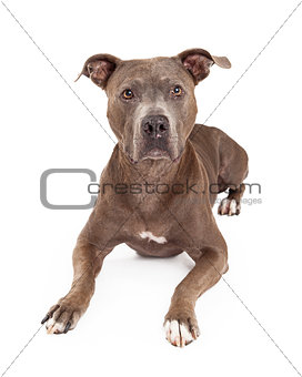 Attentive American Staffordshire Terrier Dog Laying