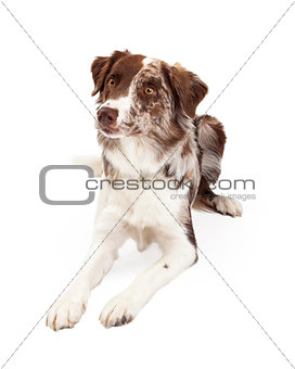 Attentive And Alert Border Collie Dog Laying
