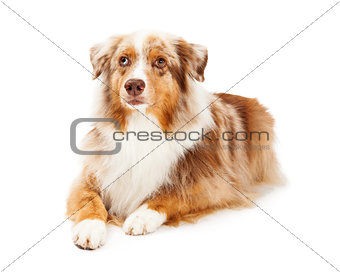 Attentive Australian Shepherd Dog Laying