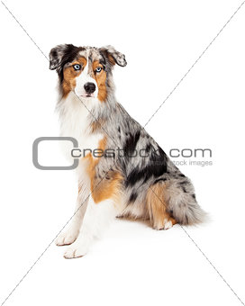 Attentive Australian Shepherd Dog Sitting Looking Off To Side