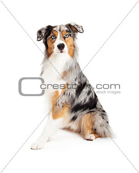 Attentive Beautiful Australian Shepherd Dog Sitting
