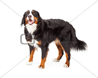 Attentive Bernese Mountain Dog Standing