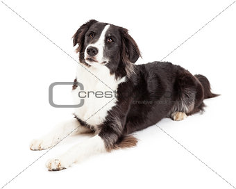 Attentive Border Collie Dog Laying