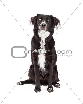 Attentive Border Collie Mix Breed Dog Sitting