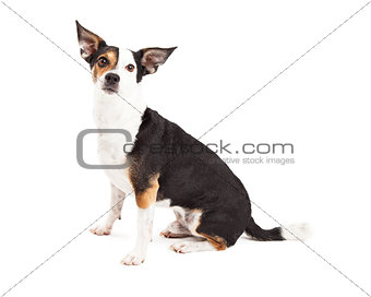 Attentive Chihuahua and Terrier Mixed Breed Dog Sitting
