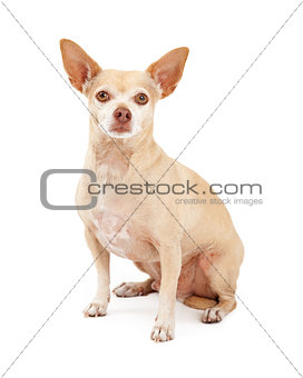 Attentive Chihuahua Dog Sitting